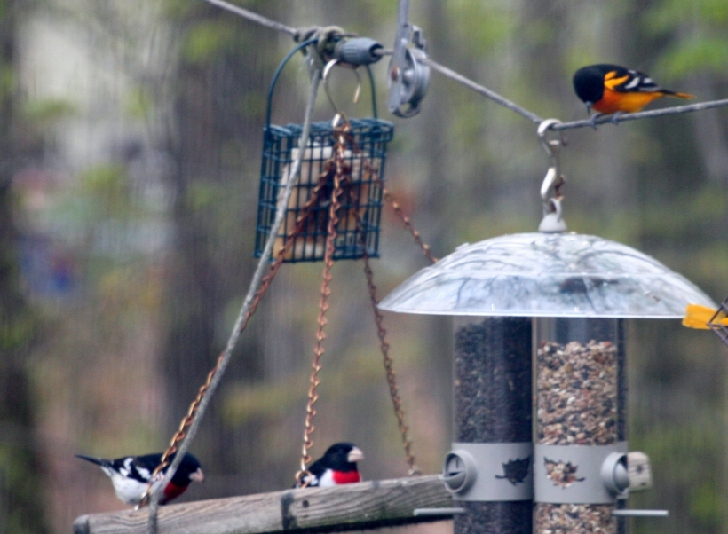 Rose breasted grosbeaks and orioles
