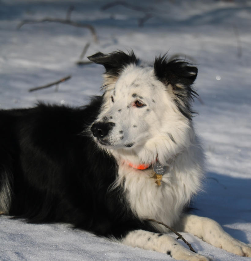 This Border Collie has a microchip!